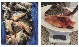 frozen salmon heads 400 grm -subo international